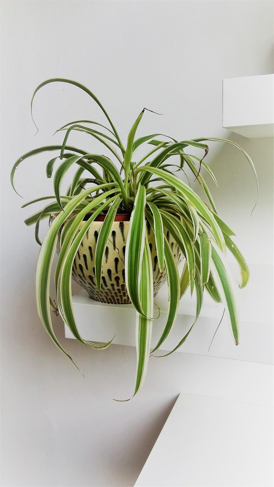 צמח העכביש